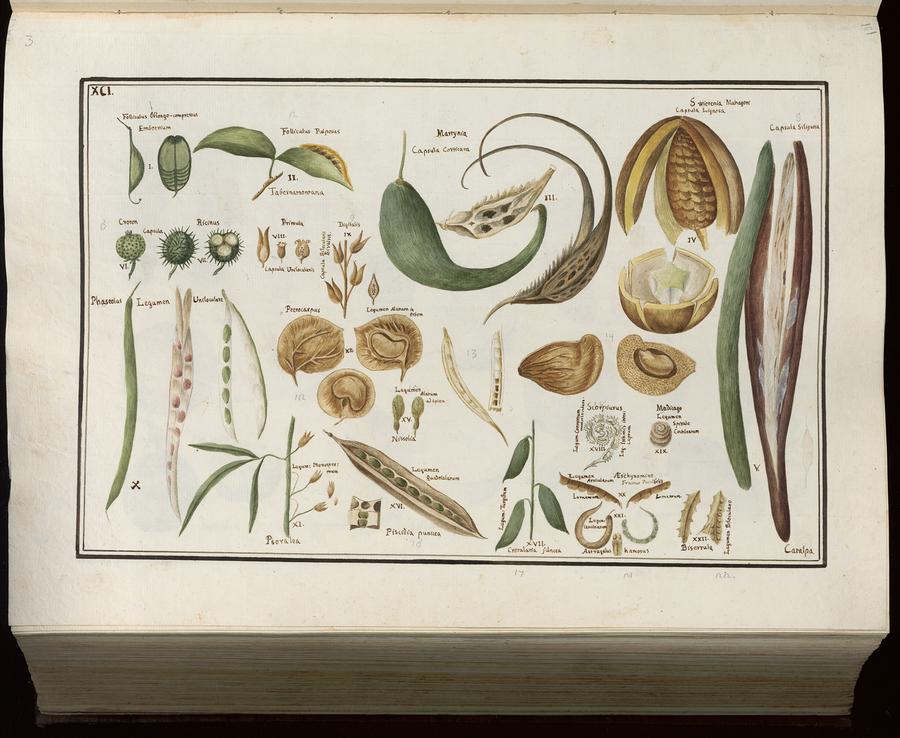 Illustration 91 from: Piante del R. Orto di Padova