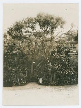 Il Vitex agnus castus. R. Orto botanico di Padova, agosto 1928