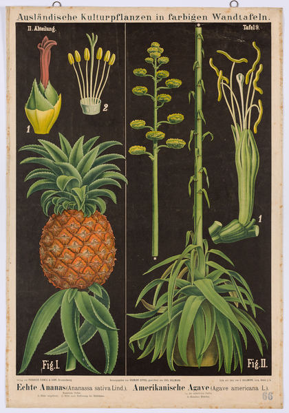 Echte Ananas (Ananassa sativa Lind.) - Amerikanische Agave (Agave americana L.)