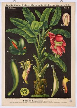Banane (Musa sapientum L.)