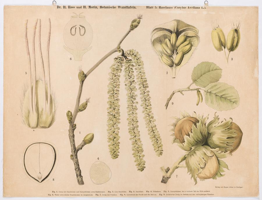 Haselnuss (Corylus avellana L.)