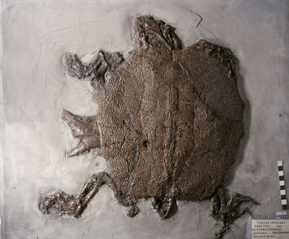 Fossil of turtle (Trionyx schaurothianus) from the geopaleontological collection of Achille De Zigno