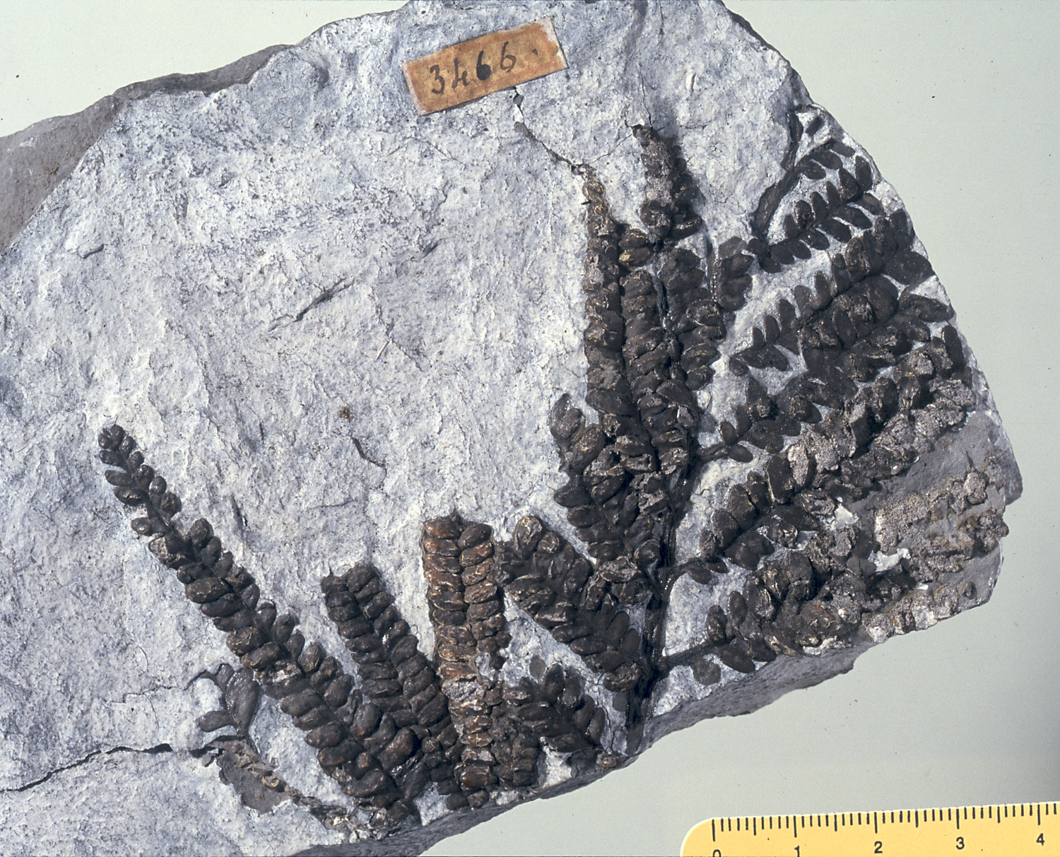 Fossil of fern (Dichopteris visianica) from the geopaleontological collection of Achille De Zigno